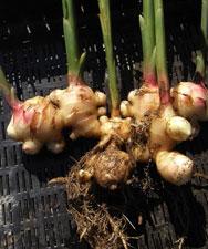 Как вырастить имбирь на огороде видео - 151e2